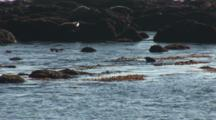 Elephant Seal (Mirounga Angustirostris) Juvenile Males Spar In Mock Fight, In Water