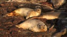 Elephant Seal (Mirounga Angustirostris) Resting On Bed Of Kelp, Nice Light