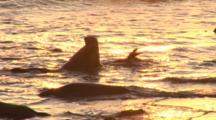 Elephant Seal (Mirounga Angustirostris) Young Bulls, Juveniles Wrestle In Surf, Sunset Light