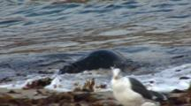 Harbor Seal (Phoca Vitulina) Gallumps Out Of Water, Western Gulls On Beach