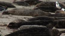 Harbor Seal (Phoca Vitulina) Group On Beach, Active Juvenile