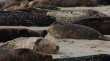 Harbor Seal (Phoca Vitulina) Group Resting On Beach
