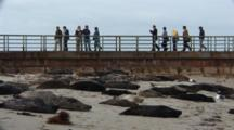 Harbor Seal (Phoca Vitulina) On Beach With People Standing On Sea Wall Behind