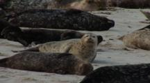 Harbor Seal (Phoca Vitulina) Group On Beach, Resting