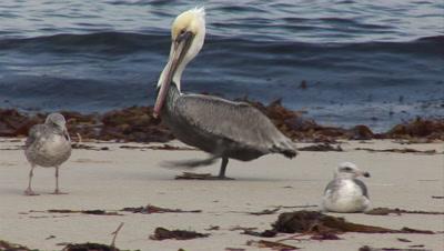 Brown Pelican Walks On Beach