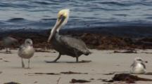 Brown Pelican, (Pelecanus Occidentalis) On Beach Walking Past Gulls, Sits & Puts Beak Under Wing