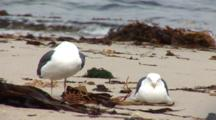 Western Gulls (Larus Occidentalis) On Beach, One Rests And One Preens, Surf In Background