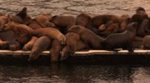 California Sealion (Zalophus Californianus), Piled On Dock In Warm Sunset Light