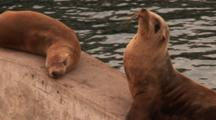 California Sealion (Zalophus Californianus), Close Up Then Zoom Out, On Sea Wall In Very Warm Dusk Light