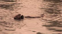 Sea Otter (Enhydra Lutris), Lays On Back Eating Then Diving In Warm Sunset Light.