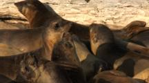 Elephant Seal (Mirounga Angustirostris) Restless Females In Small Group On Beach