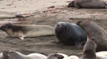 Elephant Seal (Mirounga Angustirostris) Beach Master Vocalizes And Fights As He Makes His Way Up The Beach