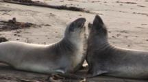 Elephant Seal (Mirounga Angustirostris) Juvenile Males Spar With One Another On Beach, One Leaves