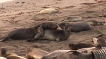 Northern Elephant Seal Sub-Adult (Mirounga Angustirostris) Attempts To Mate With Female