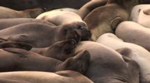 Northern Elephant Seal Sub-Adults (Mirounga Angustirostris) Resting With Others In A Group
