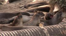 Northern Elephant Seal Colony (Mirounga Angustirostris) Vocalizing & Moving About With Storm Drain In The Foreground