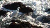 Great Egret (Ardea Alba) Hunting In Tidepools