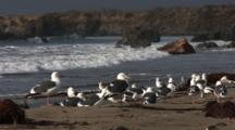 Western Gull (Larus Occidentalis) Flock On Beach, Nice Light, Ocean In Background