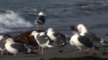 Western Gull (Larus Occidentalis) Flock On Beach Preening, Some Fly, Nice Light, Ocean In Background