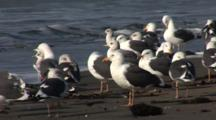 Western Gull (Larus Occidentalis) Flock On Beach Preening, Nice Light, Ocean In Background