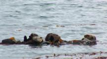 Sea Otter (Enhydra Lutris) Small Group Of Animals Rafting In The Kelp