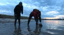 Horseshoe Crabs (Limulus Polyphemus) Being Released After Tagging Process, Dramatic Sky In Background