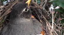 American Robin (Turdus Migratorius) Adult Mom Sitting On Nest, Close Up