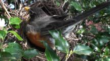 American Robin (Turdus Migratorius) Adult Mom Moving About On Nest