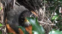 American Robin (Turdus Migratorius) Adult Mom Moving About On Nest And Readjusting Her Eggs