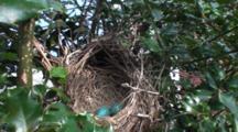 American Robin (Turdus Migratorius) Nest, With Two Blue Eggs