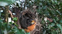American Robin (Turdus Migratorius) Nest, With Mom Sitting On Eggs, Facing Camera Then Readjusts Eggs