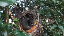 American Robin (Turdus Migratorius) Nest, With Mom Sitting On Eggs, Facing Camera