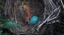 American Robin (Turdus Migratorius) Nest With 1 Chick & 1 Egg, Chick Has Mouth Open