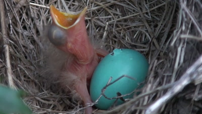 American Robin (Turdus Migratorius) Nest With 1 Chick & 1 Egg, Extreme Close Up