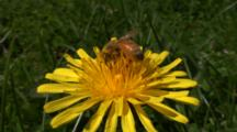 Honey Bee On Dandelion Then Bee Flies Away, Close Up