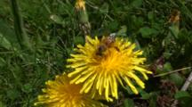 Honey Bee Covered In Pollen, On Dandelion Then Bee Flies Away, Close Up