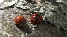 Lady Bug Beetles On Tree Branch, Close Up And Beetle Exits Frame