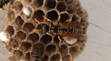 Paper Wasps Mill About On Nest, Close Up