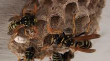 Paper Wasps Mill About On Nest, Close Up Then Zoom Out