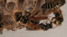 Paper Wasps Mill About On Nest, Close Up Contact Between Insects