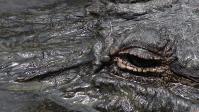 Alligator in Mississippi Bayou