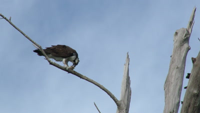 An Osprey (Pandion haliaetus) in a tree eating a fish