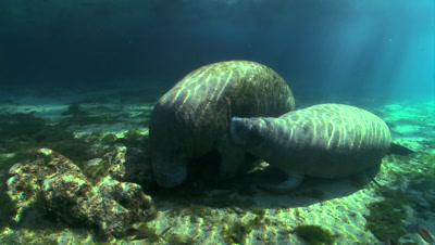 Edited Content - West Indian Manatee