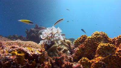 Coral Reef Scenics - Fish Schools,Lion fish,Sponges,Habitat