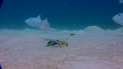 Coral Reef Scenics - Fish Schools,Triggerfish and Angelfish Eating Lobster Shell