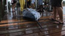 Fishing - Marlin On A Dock, Dead, Shot Zooms In
