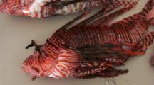 Lion Fish Being Displayed On A Table After A Fishing Tournament, Pan Accross Table & Zoom Out