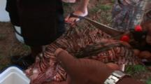 Lion Fish Having The Spines And Fins Removed By Shears, Hand Held & High Angle