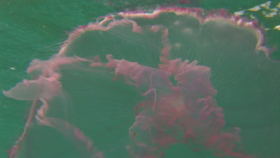 Moon Jellies (Aurelia aurita) in green water