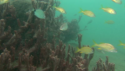 Small reef fish,Snappers,Grunts and others swimming over soft corals and sponges